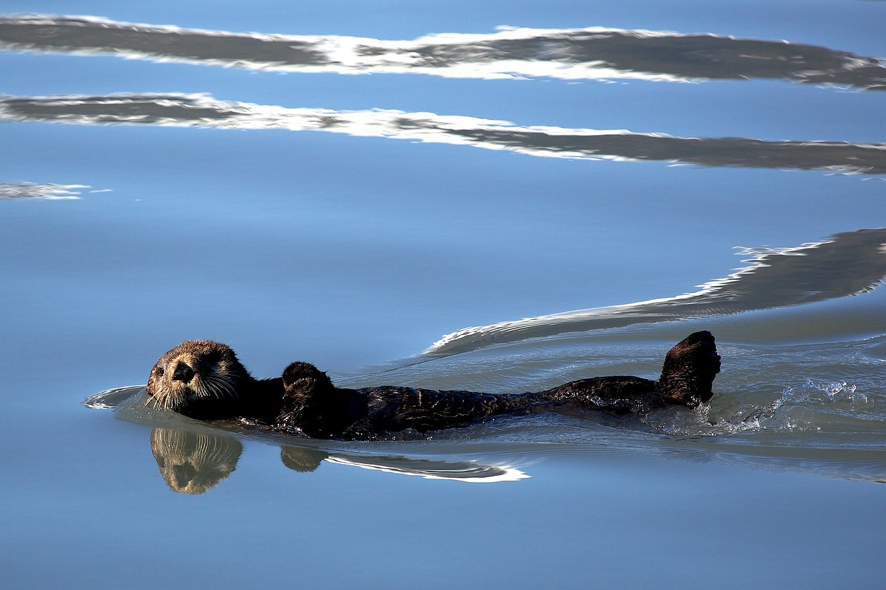 Otter Swiming