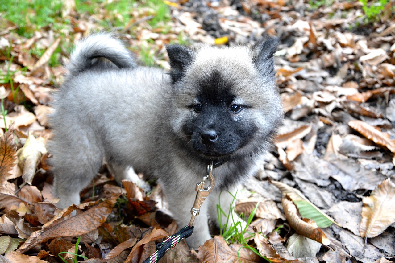 Puppy eurasier domestic animal