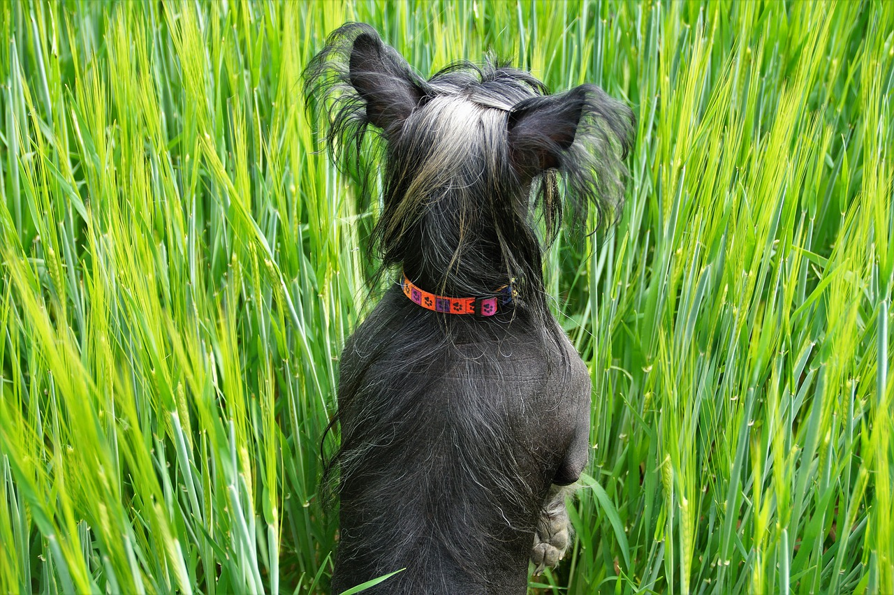 Dog in the grain green grain field