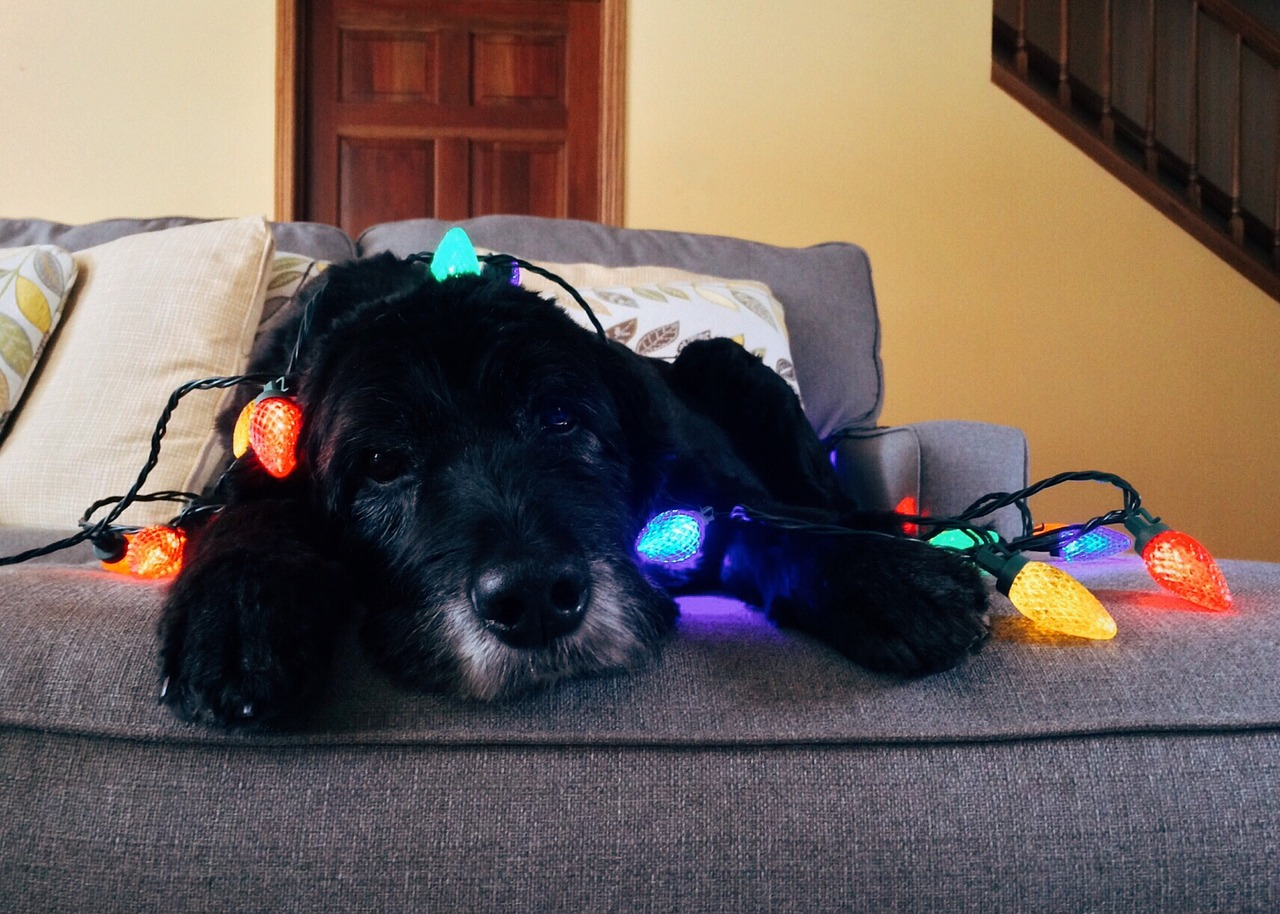 Dog with lights on couch