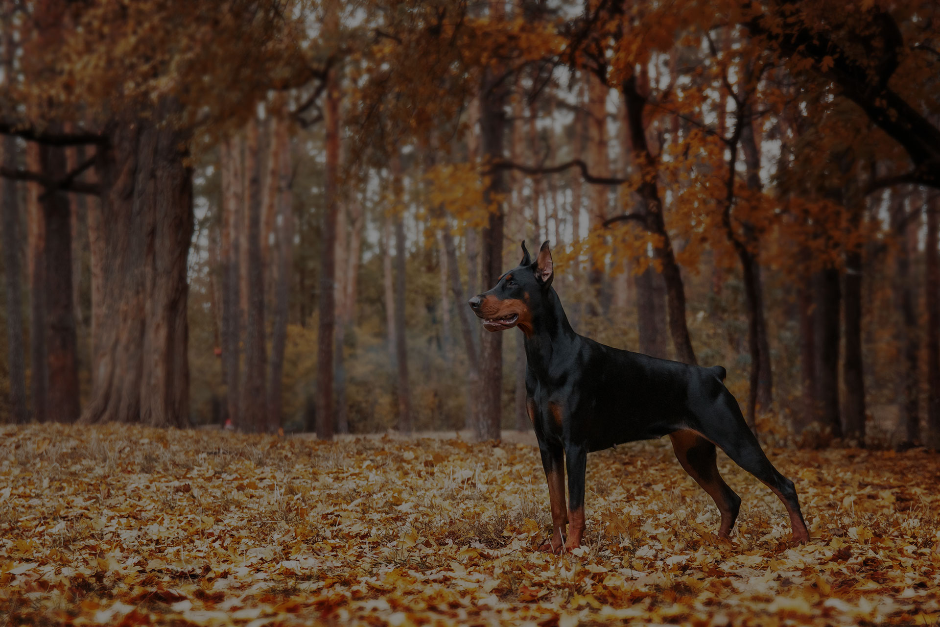 Doberman Pinscher on the background of autumn trees