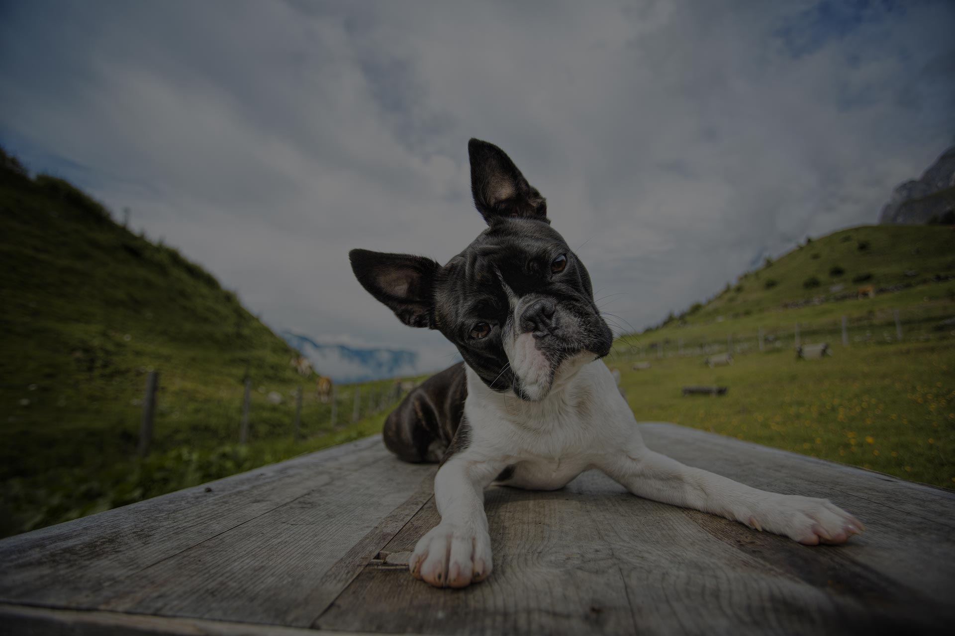 Hiking with a Boston Terrier in the Austrian Alps in Summer