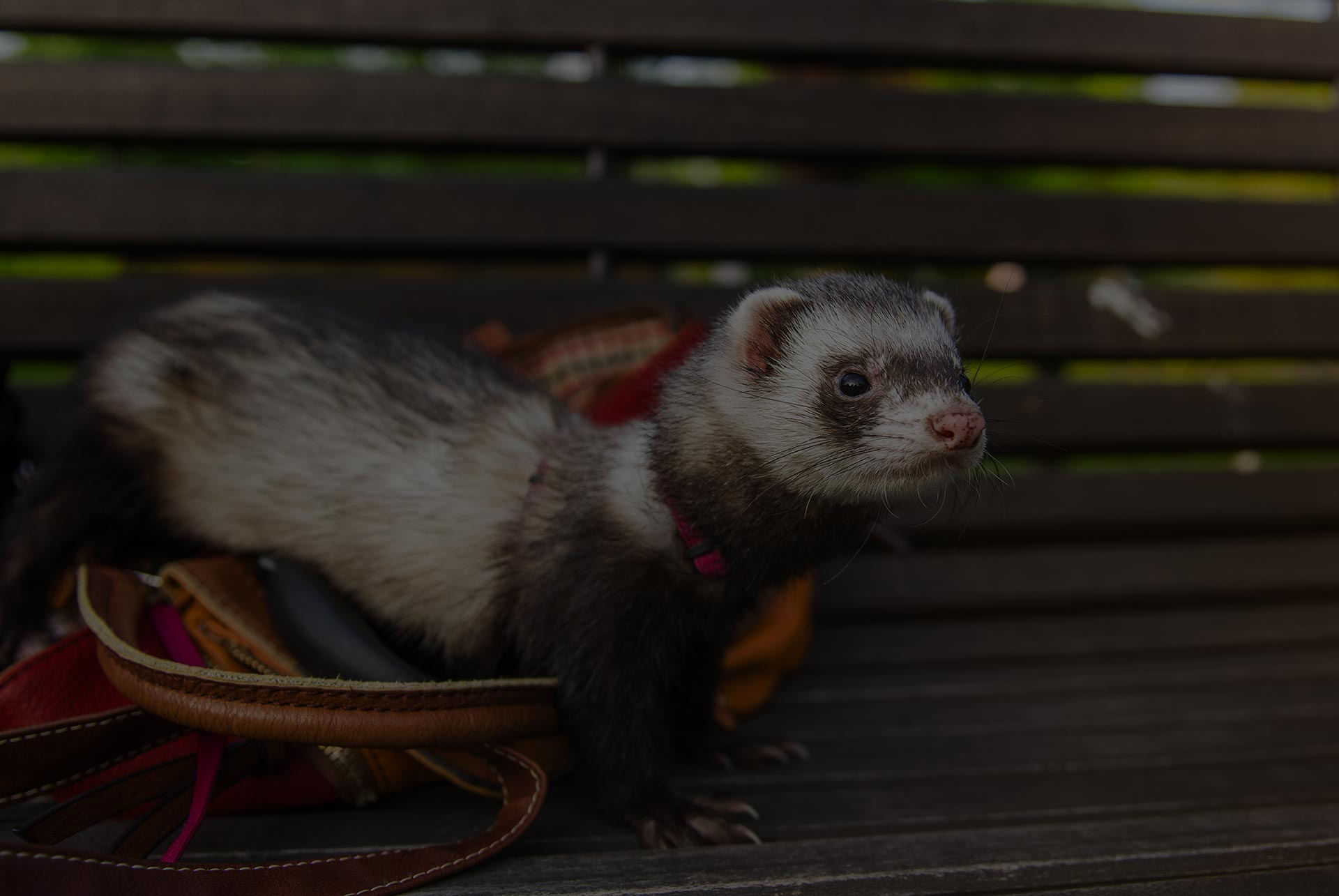 Looking ferret on the bench