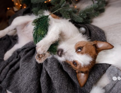 Mistletoe Mishaps and Other Holiday Hazards for Pets