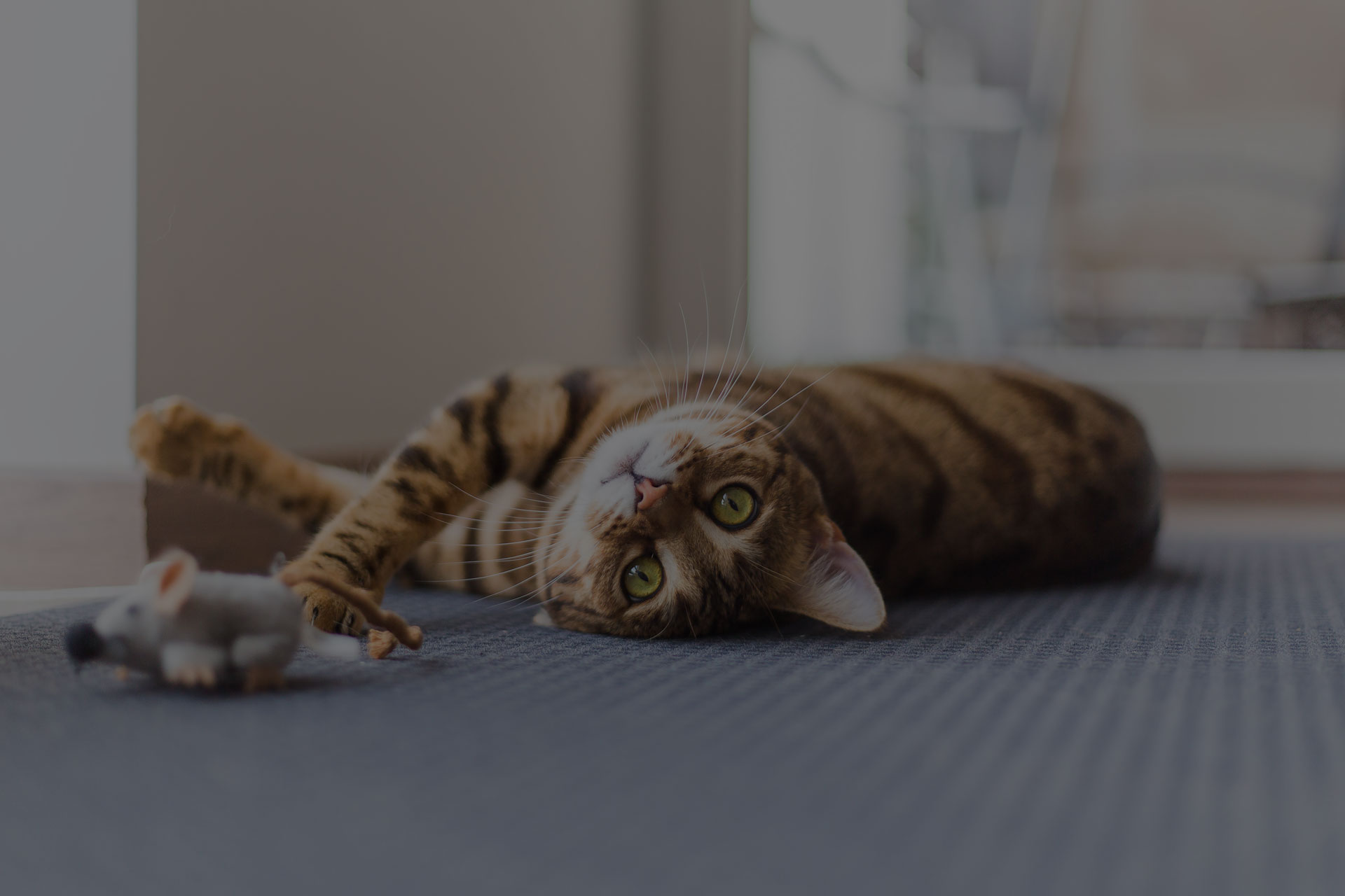 Funny beautiful Bengal cat playing in the house on the floor with a mouse. - Image